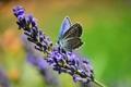 ...levanduľový  modráčik...