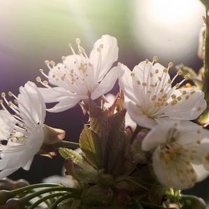 ...kvet čerešne ...