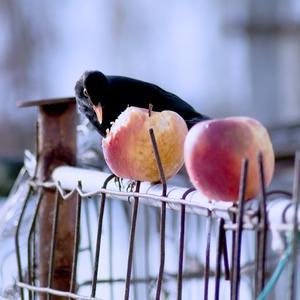 ...drozd a jablčko...
