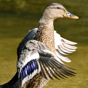 ...Donovalská kačica ...