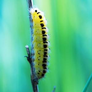 ...Budúci motýľ...