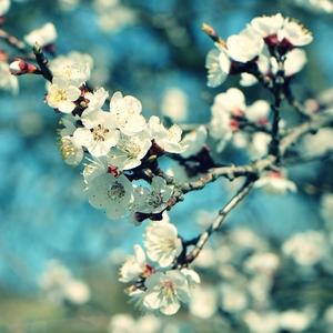 ...Kvitnúca marhuľa...
