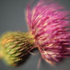 kvet bodliaka