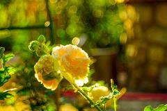 zátišie s ružou