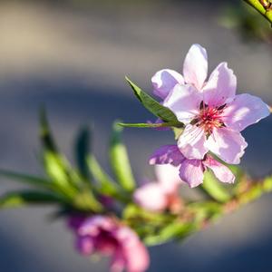 nektarinka