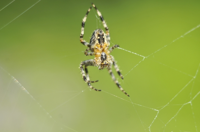 pavúk