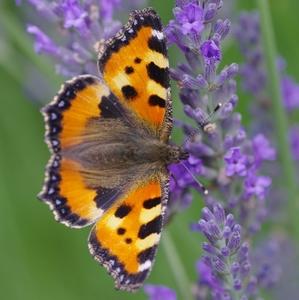 Motýľ a levanduľa