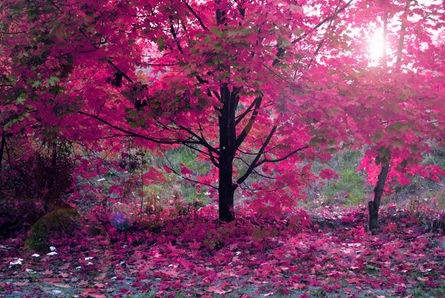ružová jeseň