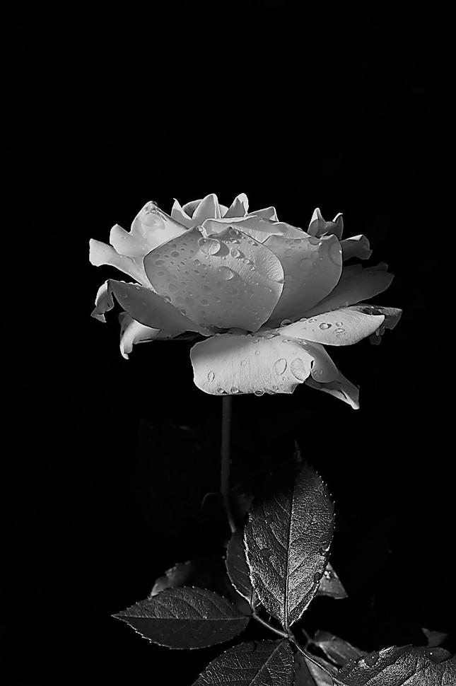 Ruža.4.