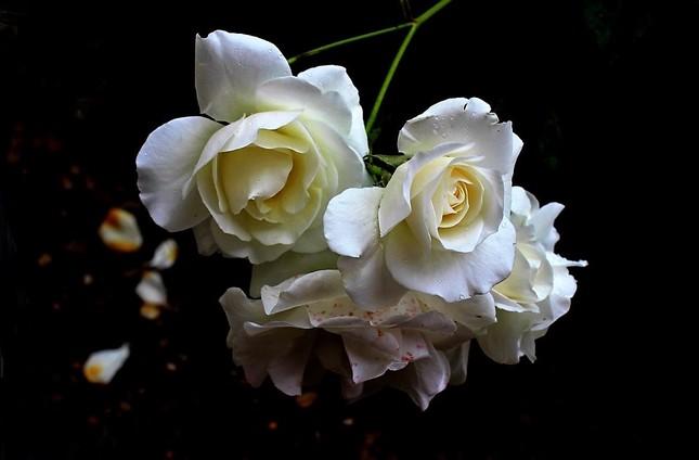 Biele ruže...