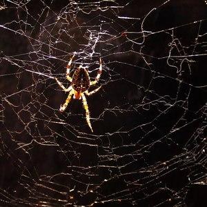 Nesústredený pavúk.