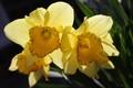 Narcisy.4.