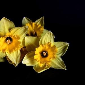 Narcisy.