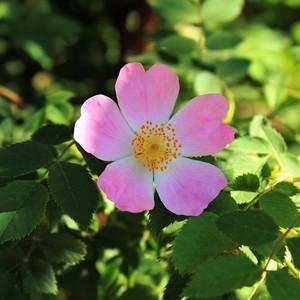 Šípová ruža.2.
