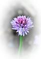 Kvet pažítky...