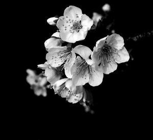 Kvet čerešne. čb