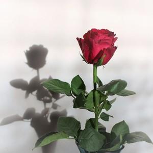 Ruža.