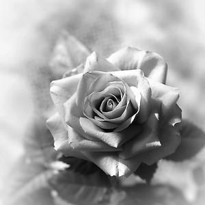 Ruža.2.