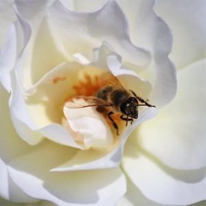V ruži.2.
