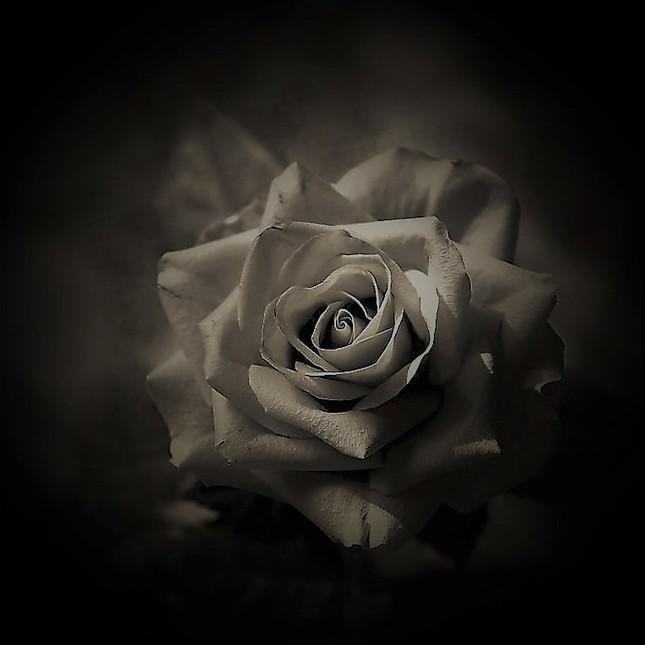 Ruža.5.
