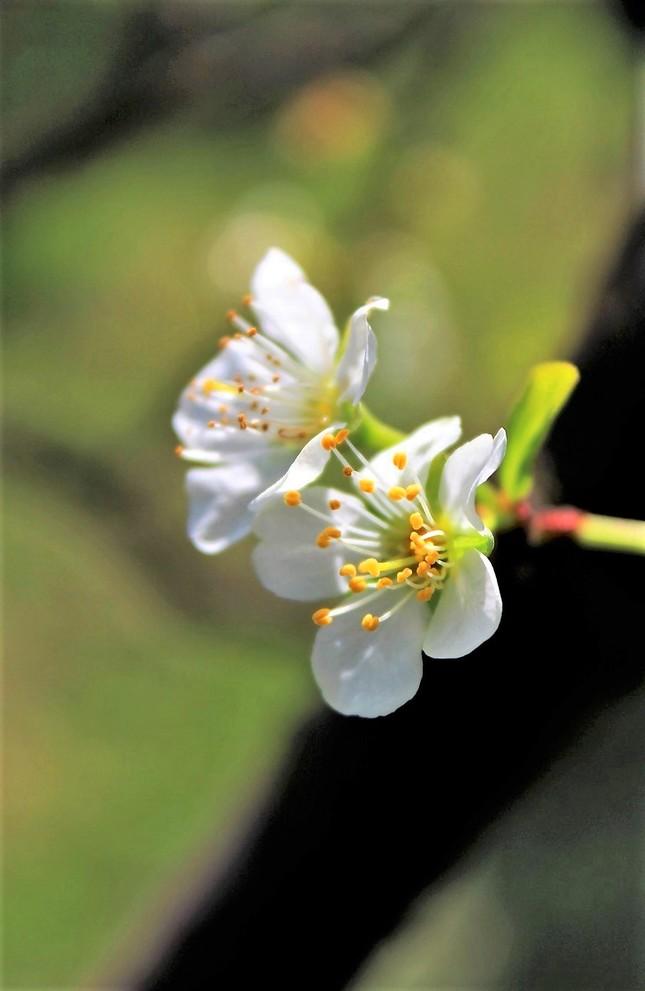 Slivková jar