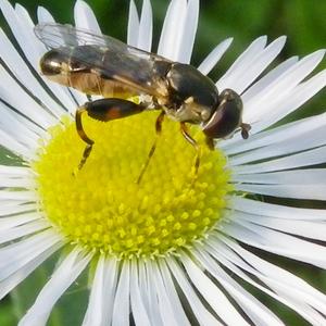 Makro - včela