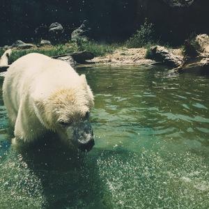 Biely Medveď
