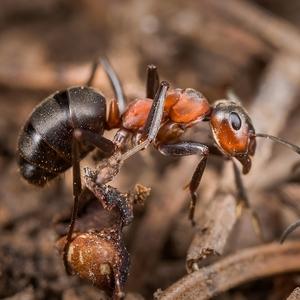 mravce