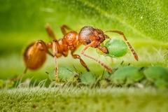 mravec a voška