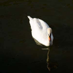 biela belšia