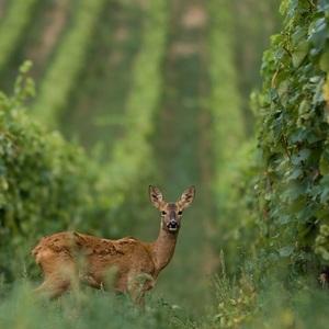 Srnka vo vinici