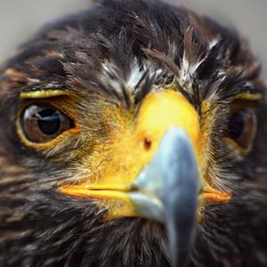 Harys Hawk