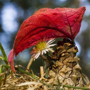 Červený slnečník