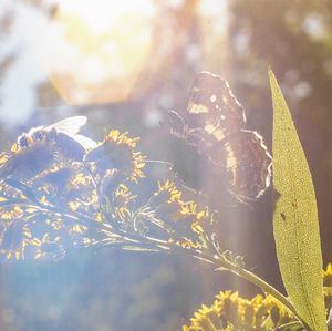 Motýľ a dve včely