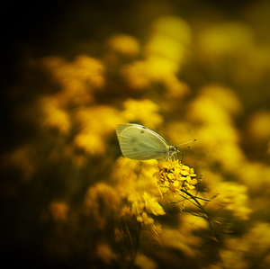 Žltý ostrov