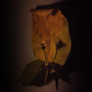 Kvet - Drákula