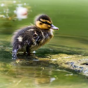 Duckling :)