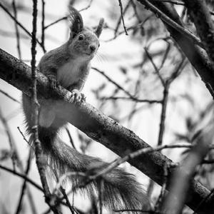 Veverička Obyčajná