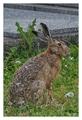 zajac cintorínový