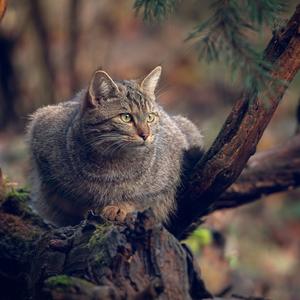 Mačka divá III