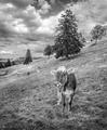 Ty krávo