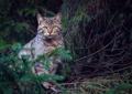 Mačka divá II