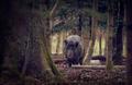 Diviak lesný
