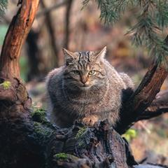Mačka divá