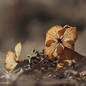hortenzia na sklonku zimy...