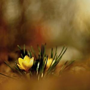 keď kvitnú šafrány...