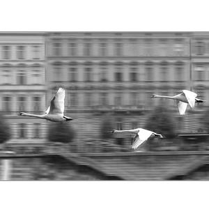 Pražské labute