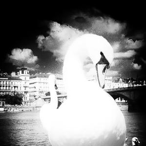 prepálená, biela labuť