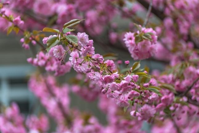 Sakura z Klemensovej