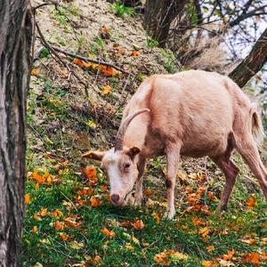Koza v lese